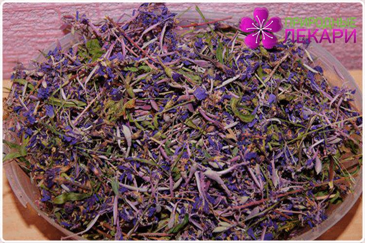 цветки шалфея