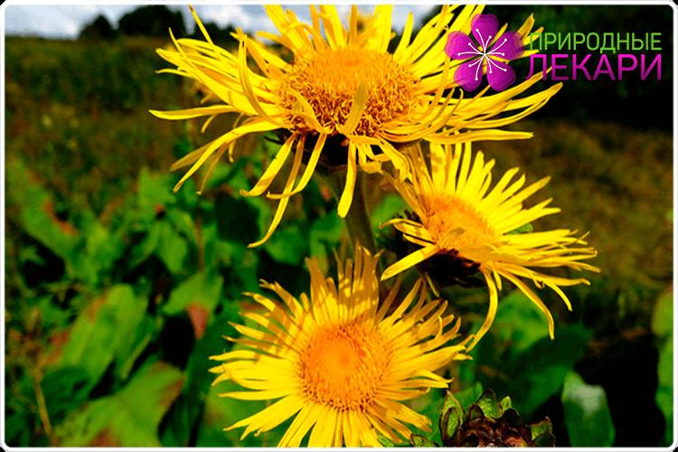 цветки девясила